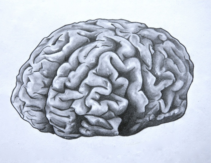 Stunning Brain Pencil Drawing Techniques for Beginners Brain. Anatomical Drawing In Pencil. | Anatomy. | Brain, Neurology Image
