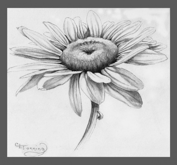 Stunning Daisy Pencil Drawing Free Daisy Drawing Related Keywords & Suggestions - Daisy Drawing Long Picture