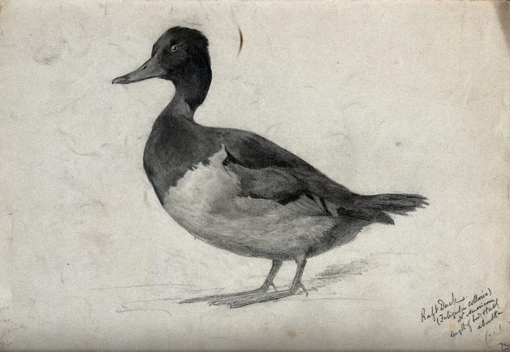 Stunning Duck Pencil Drawing Easy Raft Duck. Pencil Drawing, Ca. 1920. | Wellcome Collection Photos