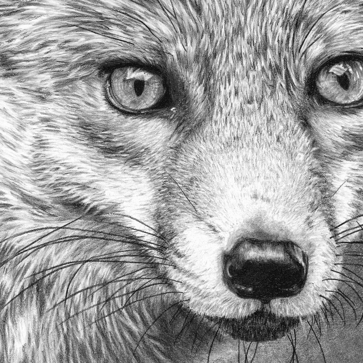 Stunning Fox Pencil Drawing Techniques Fox Pencil Sketch At Paintingvalley | Explore Collection Of Fox Pic