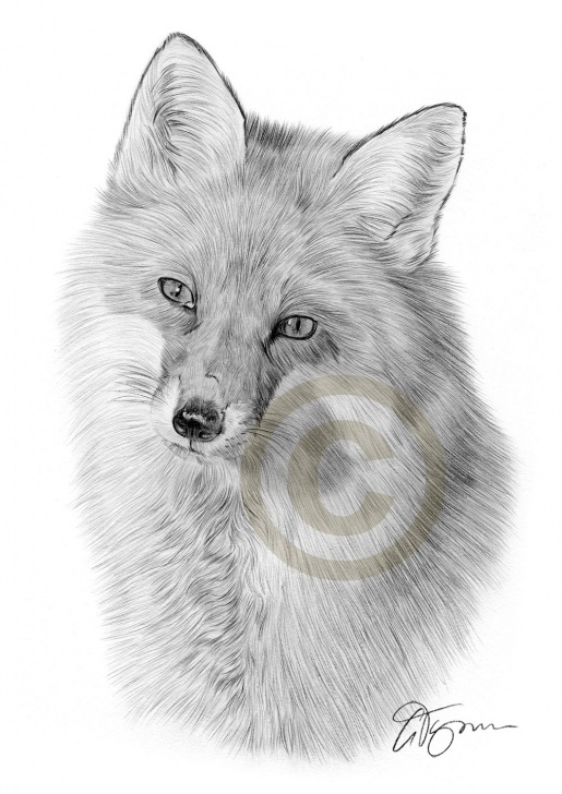 Stunning Fox Pencil Sketch Tutorial Pencil Drawing Of A Young Red Fox By Artist Gary Tymon Pictures