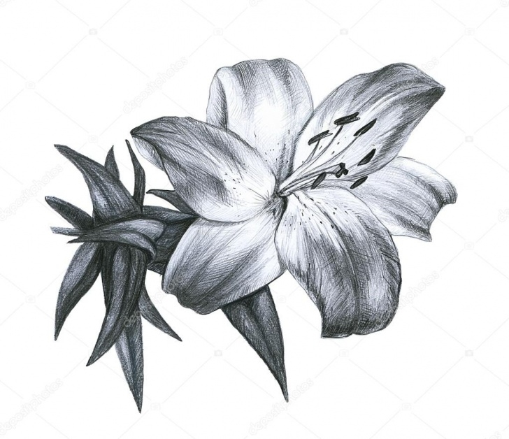 Stunning Lily Pencil Drawing Courses Pencil Drawing Lily — Stock Photo © Ingadudkina #16894783 Pictures