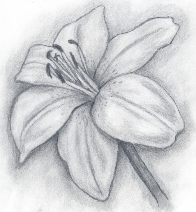 Stunning Lily Pencil Drawing Courses Sketch Easy Lily Drawing And Lily Drawings In Pencil Drawings Of Pictures