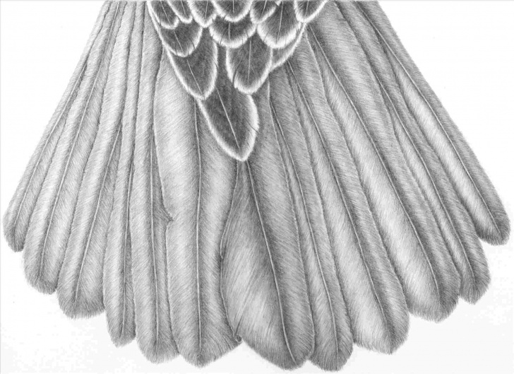 Stunning Peacock Pencil Shading Step by Step Rhgdpictureus Peacock Pencil Shading Drawing Of Birds With In Pic