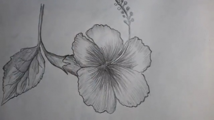 Pencil Sketch Of Hibiscus Flower