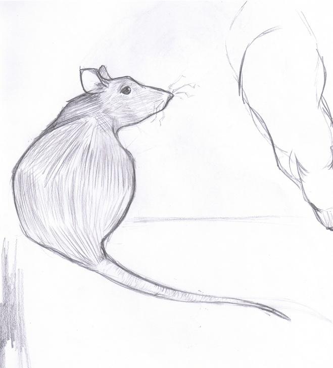 Stunning Rat Pencil Drawing Easy Pencil | Rat Girl Studios Image