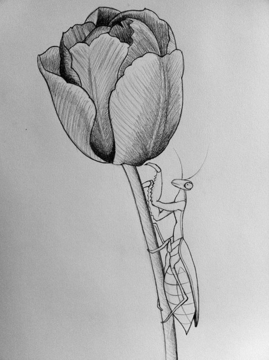 Stunning Tulip Drawings In Pencil Step by Step Mantis/tulip Line Art By Darcydoll On Deviantart | Tulip Drawing In Images