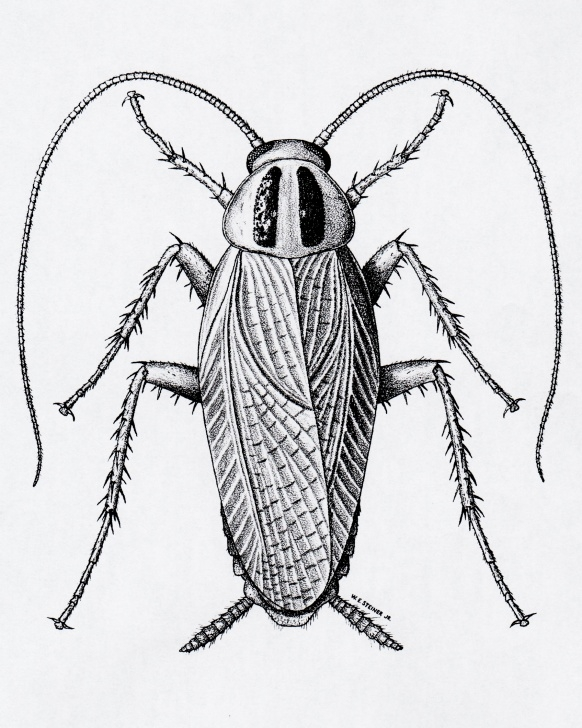 The Best Cockroach Pencil Drawing Step by Step Cockroaches - Insect Drawings Images