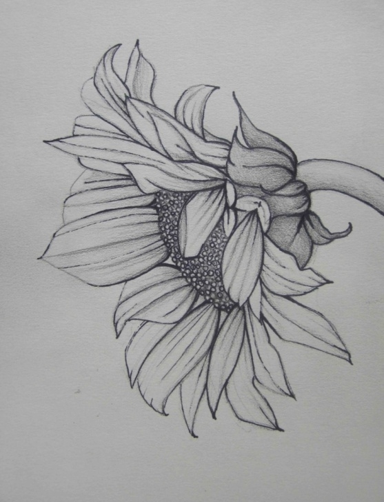 The Best Sunflower Pencil Drawing Tutorials Sunflower Pencil Drawing | Carik Wallpapers Images