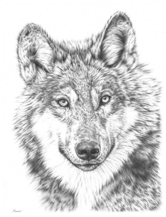 The Best Wolf Drawings In Pencil Tutorial Wolf Pencil Drawing On Behance Pics