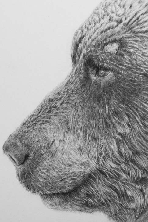 The Complete Bear Pencil Drawing Free Pencildrawing - Ussuri Brown Bear On Behance Photo