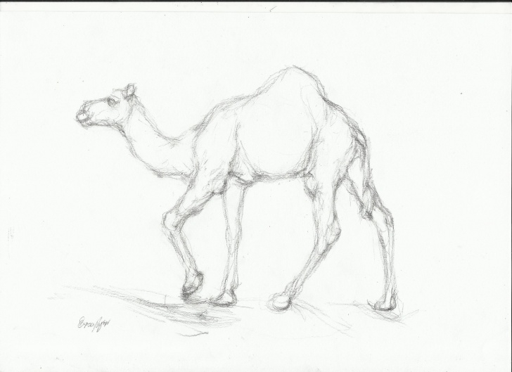 The Complete Camel Pencil Drawing Easy Camel Sketch At Paintingvalley | Explore Collection Of Camel Sketch Picture