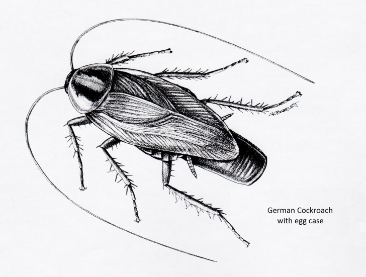 The Complete Cockroach Pencil Drawing Free Cockroaches - Insect Drawings Pics