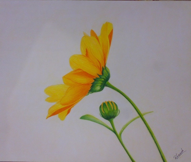 The Complete Easy Colored Pencil Drawings Of Flowers Tutorials Drawings Of Flowers With Color At Paintingvalley | Explore Pic