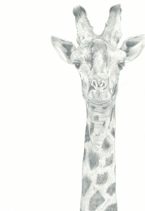 The Complete Giraffe Pencil Sketch Simple Giraffe (Print) Picture