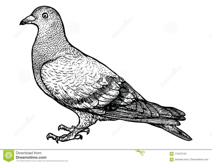 The Complete Pigeon Pencil Drawing Courses Pigeon Illustration, Drawing, Engraving, Line Art, Realistic, Vector Picture