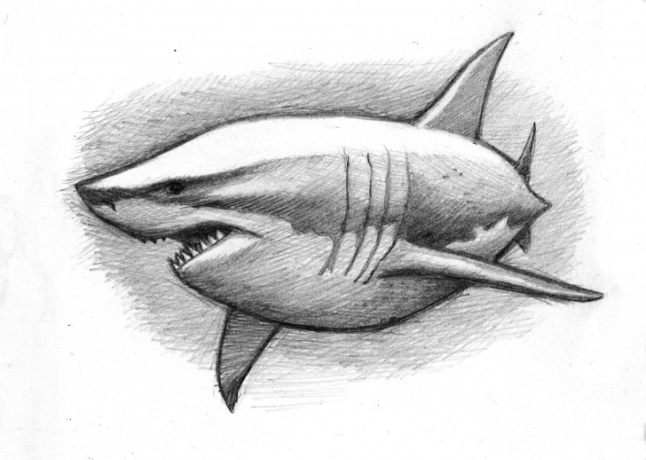 The Complete Shark Pencil Drawing Ideas A Cuddly Great White Shark (Pencil Sketch) | My Love Of Sharks Images