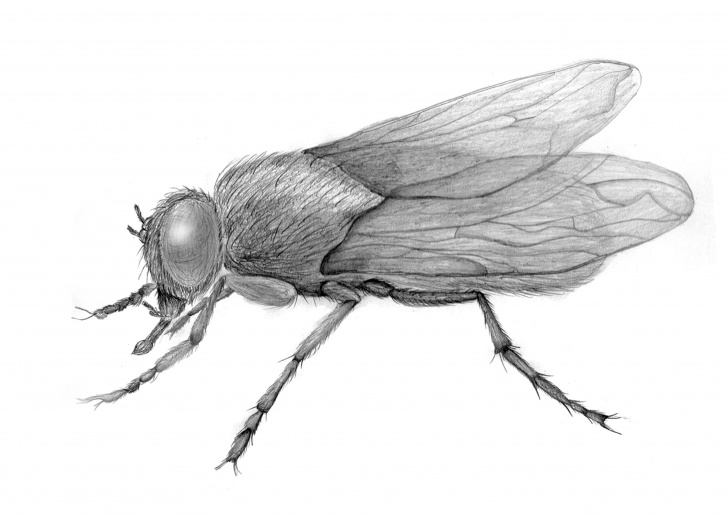 The Most Famous Drawing Insects Pencil Ideas Pencil Drawing Of A Fly Insect Sketch | Drawings | Fly Drawing Pictures