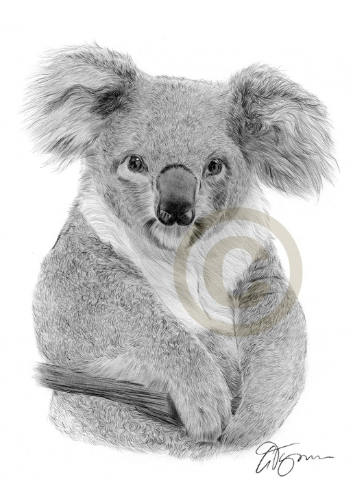 The Most Famous Koala Pencil Drawing Techniques for Beginners Pencil Drawing Of A Koala By Artist Gary Tymon Pics