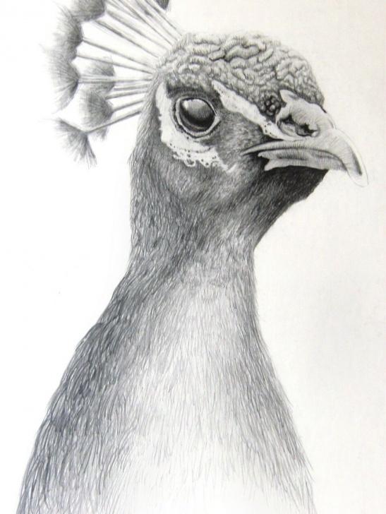 Peacock Pencil Shading