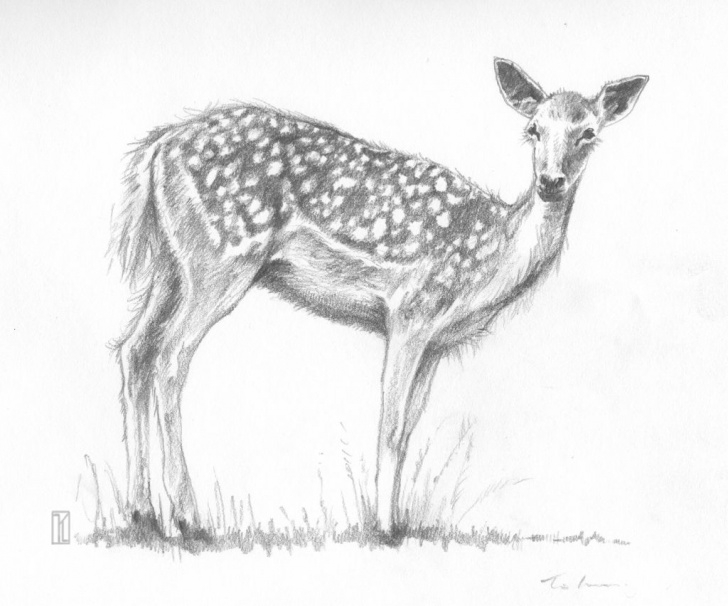 The Most Famous Pencil Art Animals Free Pencil Drawing Of Deer Animal Pencil Drawing Of Deer – Drawing Art Pictures