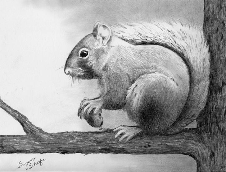 Squirrel Pencil Drawing