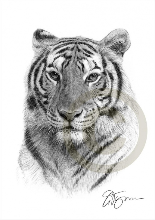 The Most Famous Tiger Pencil Drawing Free Indian Bengal Tiger Pencil Drawing Print - Artwork Signed By Artist Gary  Tymon - 2 Sizes - Ltd Ed 50 Prints Only - Pencil Portrait - Big Cat Pic