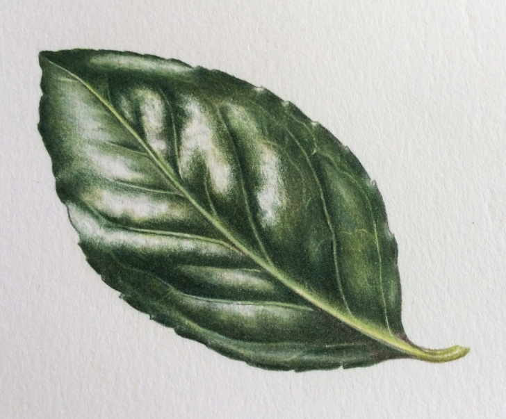 Top Ann Swan Botanical Artist Tutorial Shiny Leaf Step-By-Step - Ann Swan Pic