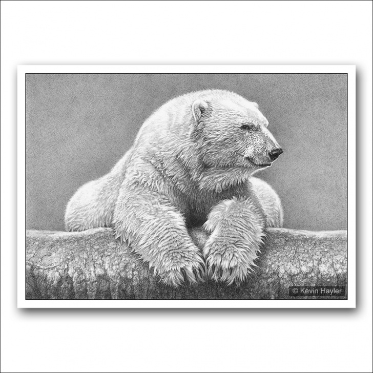 Top Bear Pencil Drawing Free Portrait Of A Polar Bear Pic