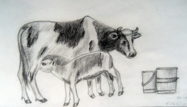 Top Cow And Calf Pencil Drawing Step by Step Cow With Calf Pencil Drawing Images