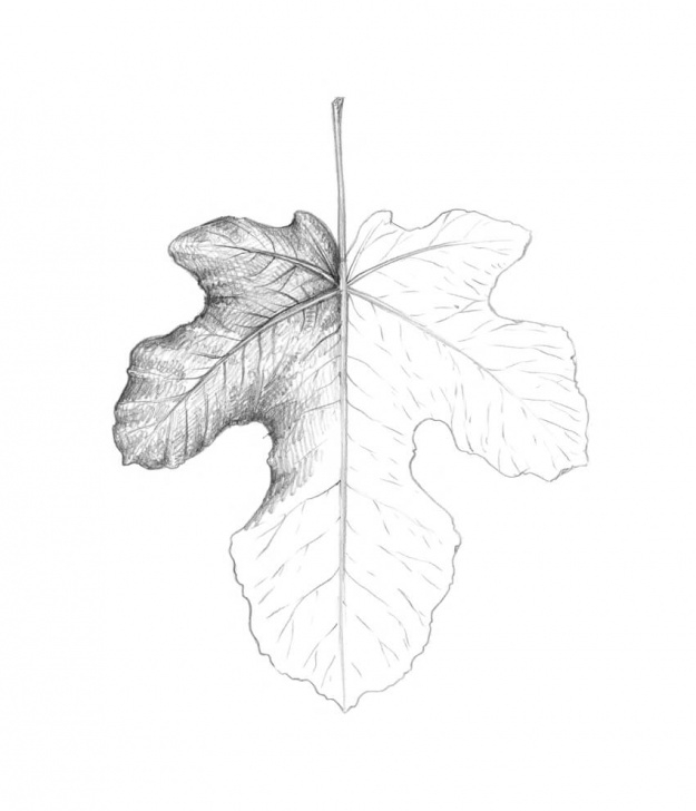 Top Leaf Pencil Sketch Free How To Draw A Leaf Step By Step Photos