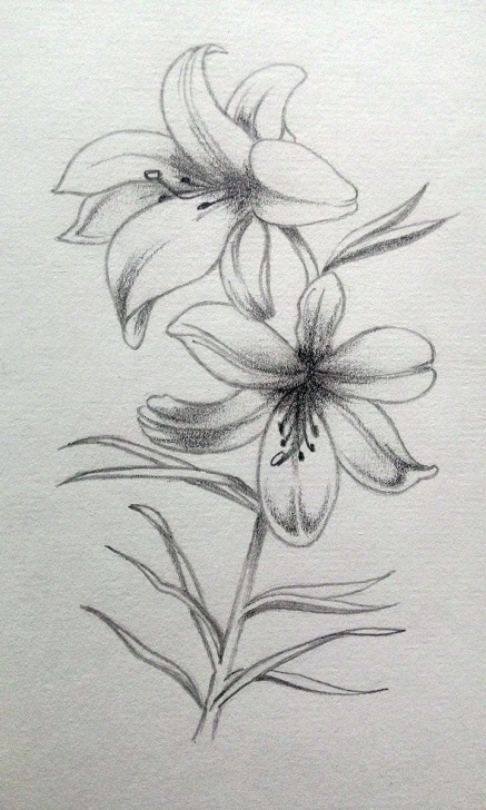 Top Lily Pencil Drawing for Beginners My Practice #lily #pencil #sketch #draw | Pencil Floral Sketch In Photo