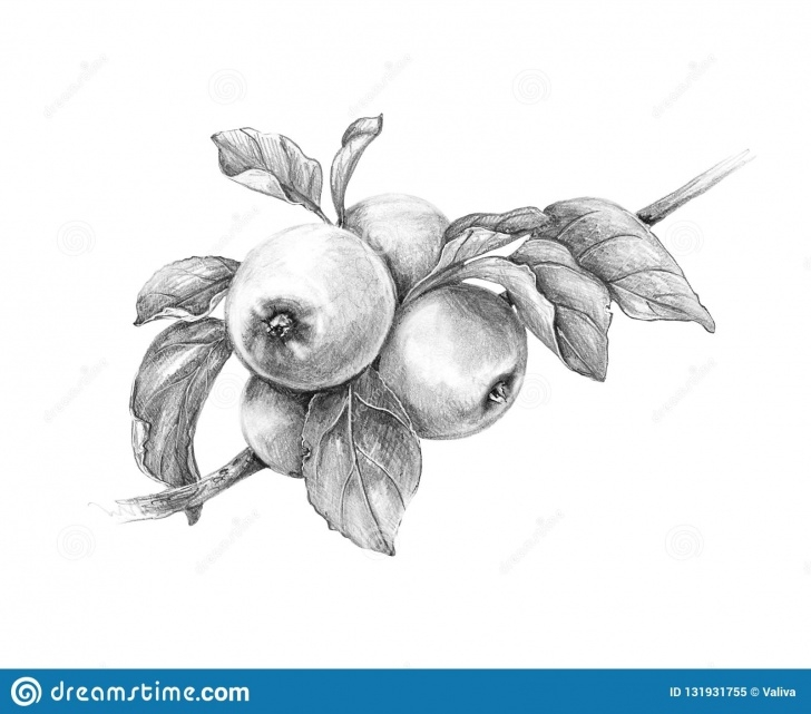 Top Pencil Sketch Of Fruits Step by Step Apple Branch Pencil Drawing Stock Illustration - Illustration Of Picture