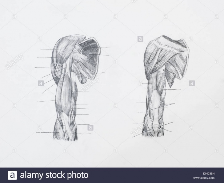 Top Pencil Sketch Of Human Body Parts Free Human Body Muscles Pencil Drawing Stock Photos & Human Body Muscles Picture