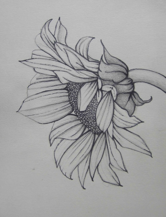 Top Sunflower Pencil Sketch for Beginners Sunflower Pencil Sketch And Sunflower Drawing In Pencil Sun Flower Photo