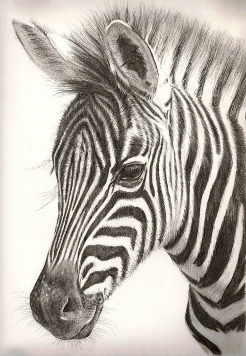 Top Zebra Pencil Drawing Step by Step Learning To Draw? You're Gonna Need A Pencil | Colored Pencil Picture