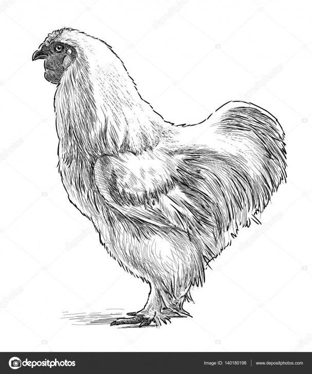 Wonderful Chicken Pencil Drawing Ideas Images: Silkie Chicken Drawing | Sketch Of A White Hen — Stock Photo Pictures