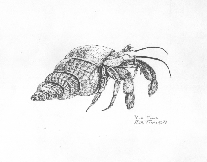 Wonderful Crab Pencil Drawing for Beginners Hermit Crabs Drawing - Google Search  | Sea Craft In 2019 | Crab Images