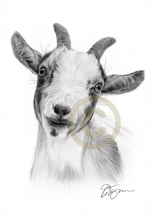 Wonderful Goat Pencil Drawing Courses Details About Goat Pencil Drawing Print - Wildlife Art - A4 Only Signed By  Artist Gary Tymon Images