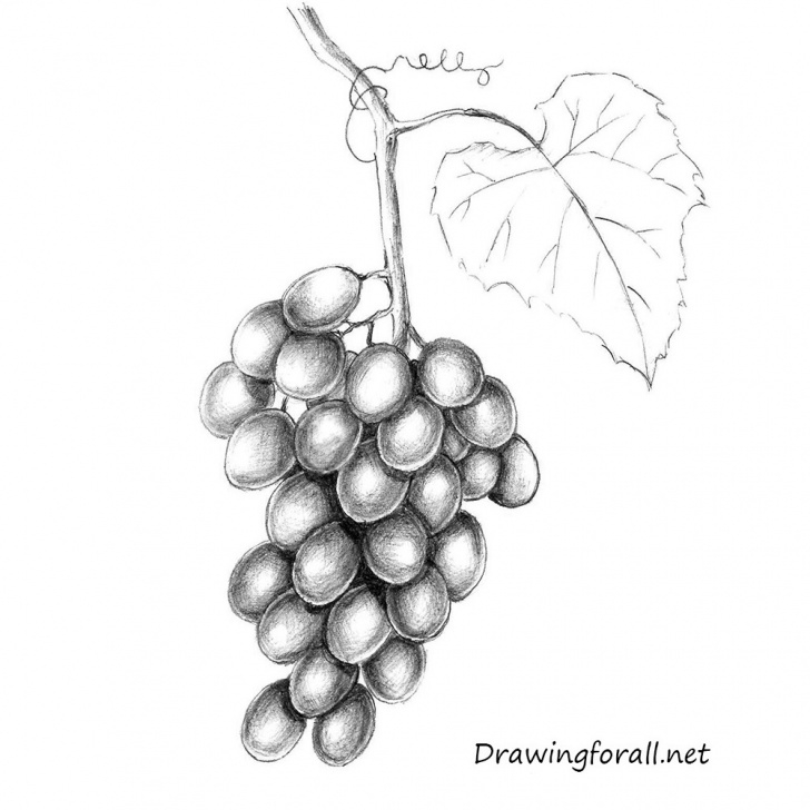 Wonderful Grapes Pencil Drawing Step by Step How To Draw Grapes | Drawingforall Image