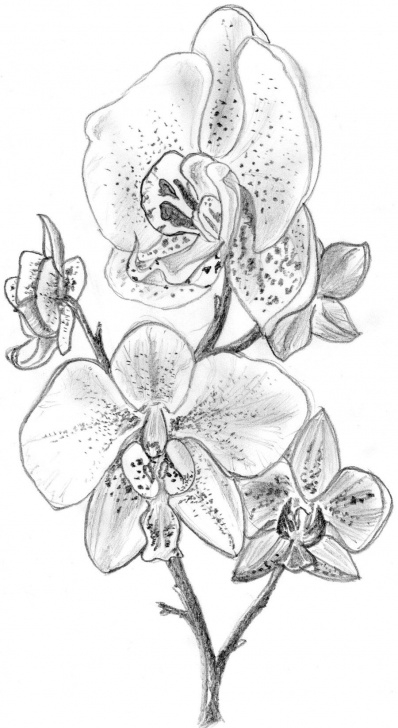 Wonderful Orchid Pencil Drawing Tutorials Orchid Sketches | Orchid By Irongarlic Traditional Art Drawings Picture