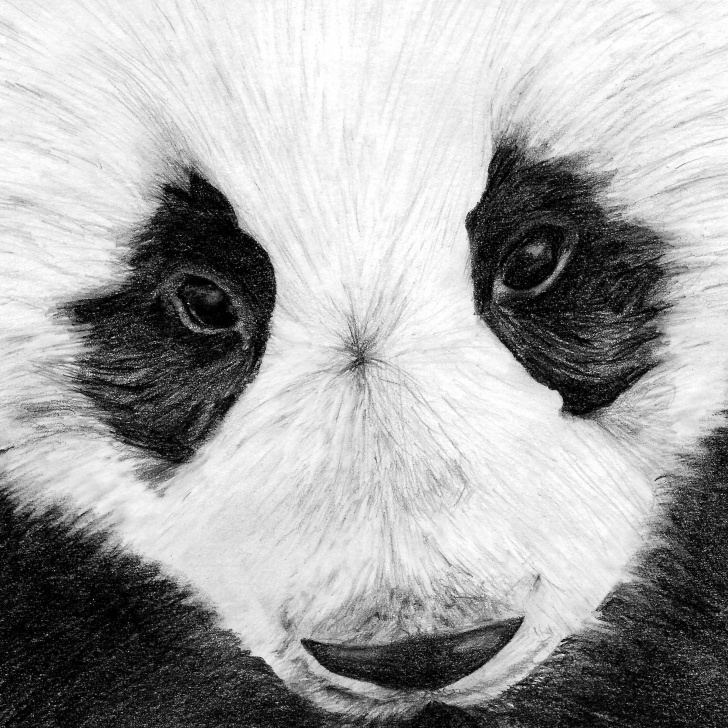 Wonderful Panda Pencil Drawing Courses Cropped Panda Pencil Drawing Print | Panda Illustration | Animal  Illustration | Animal Drawing | Digital Print Images