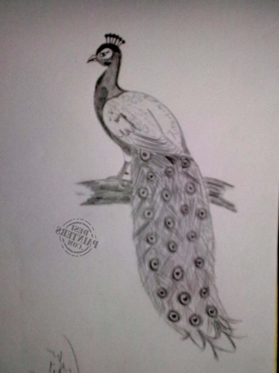 Peacock Pencil Sketch
