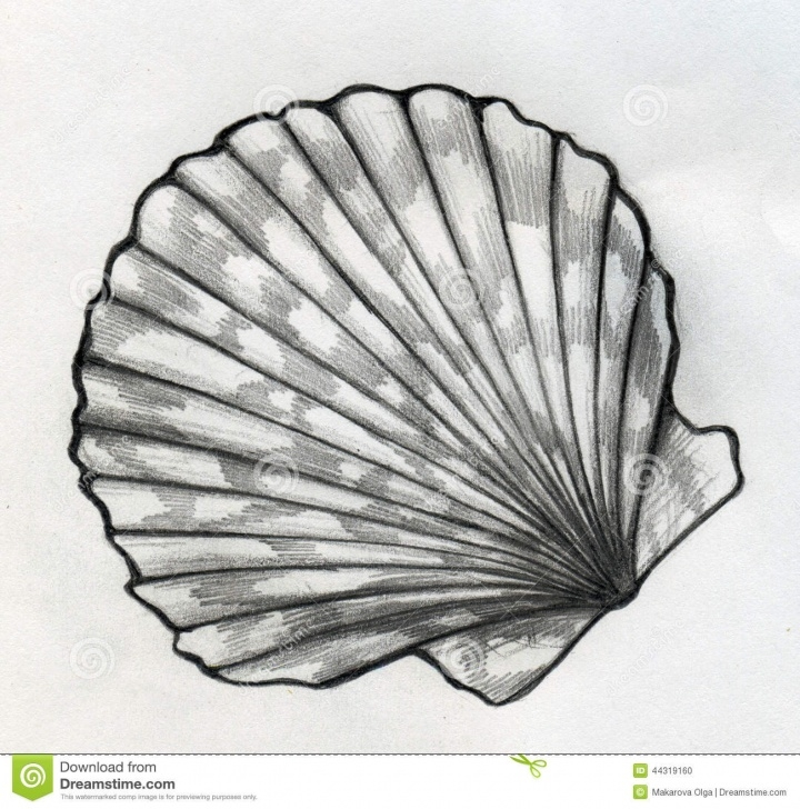Wonderful Seashell Pencil Drawing Step by Step Sea Shell Sketch Stock Illustration. Illustration Of Drawing - 44319160 Image