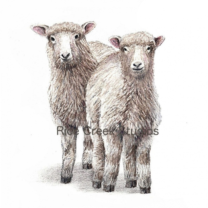 "Wonderful Sheep Pencil Drawing Step by Step Sheepish Looks"" Colored Pencil Drawing By Ricecreekstudios On Etsy Pics"