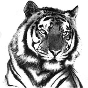 Wonderful Tiger Pencil Drawing Ideas Tiger In Pencil In 2019 | Things To Draw | Tiger Drawing, Pencil Pics