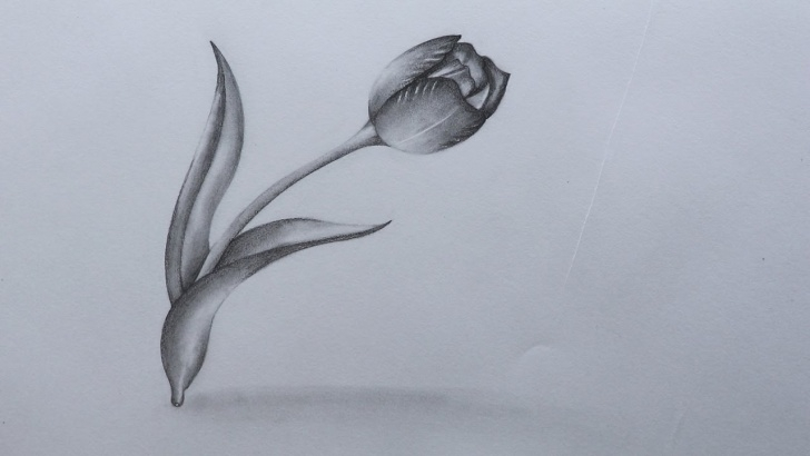 Tulip Drawings In Pencil